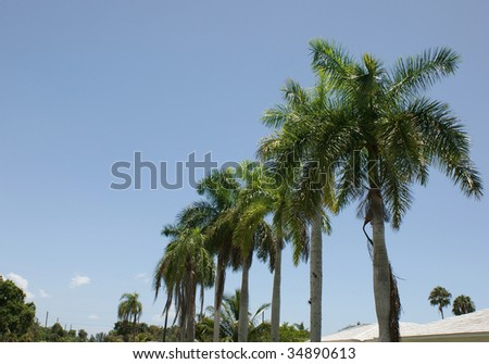 row of palm trees line street in south west florida, against a blue sky with plenty of copy space in this tropical scene.