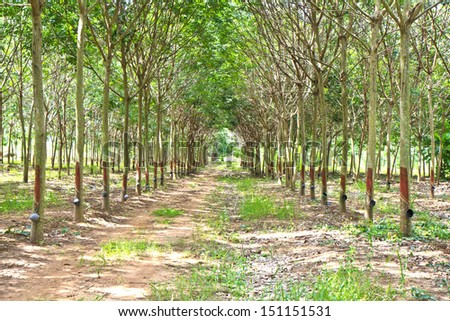 Row of para rubber trees - stock photo