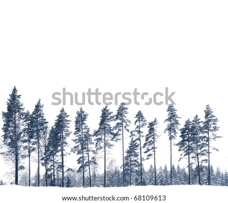 Row of pine trees in winter isolated on white - stock photo