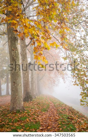 Row of plane trees with yellow leaves in a foggy autumn morning - Ferrara, Italy