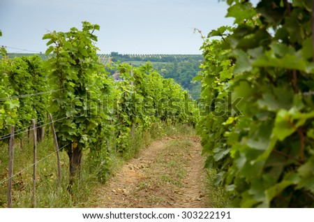 row of plants of green vineyard image