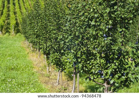 Row of plum trees with plumbs in an orchard - stock photo