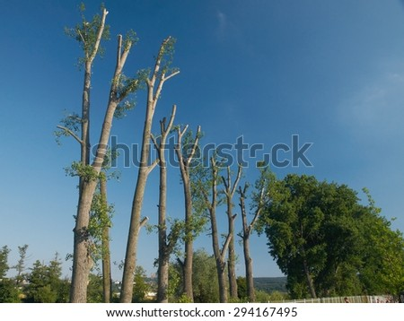 Row of poplar trees ( Populus L. ) after a vocational cut      - stock photo