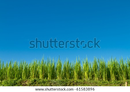 Row of rice in front of blue sky, with big copy space. I have one more  shot like this in vertical format. - stock photo