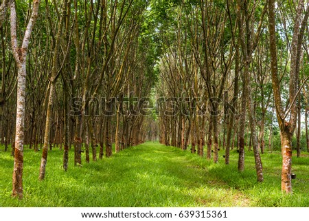 Row of rubber plantation harvesting for industry in Thailand.