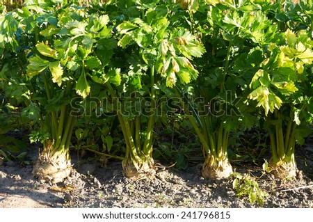 Row of several root celery plants growing - stock photo