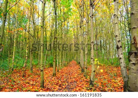 Row of silver birch trees with leaf covered walkway in English woods. - stock photo