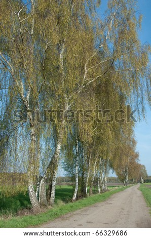 Row of Silver Birches, Betula pendula, along a country lane in spring - stock photo