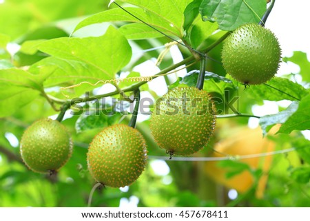 Row of southeast asian fruit, commonly know as Gac, Baby jackruit, Spiny bitter gourd, Sweet grourd or cochinchin gourd. Very delicious and medicinal properties  - stock photo