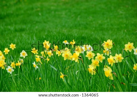 Row of spring daffodils in green grass field - stock photo