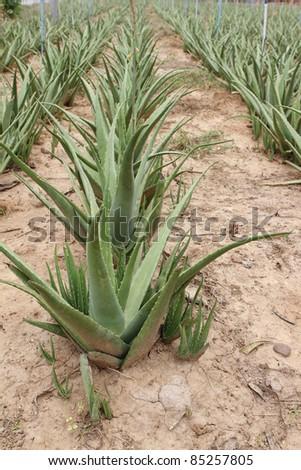 Row of the aloe vera in the farm land. - stock photo