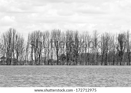 Row of trees in flooded landscape - black and white image - stock photo