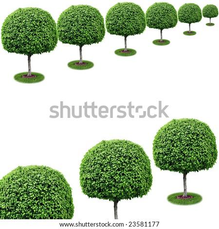 Row of trees with copy space - ficus benjamina. - stock photo