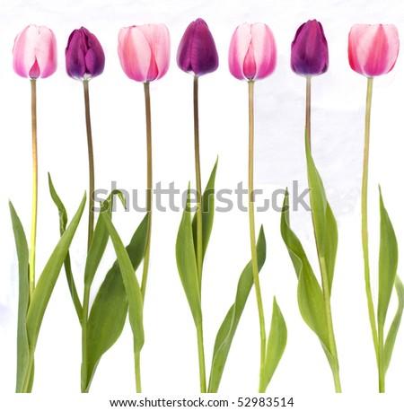 Row of tulips - stock photo