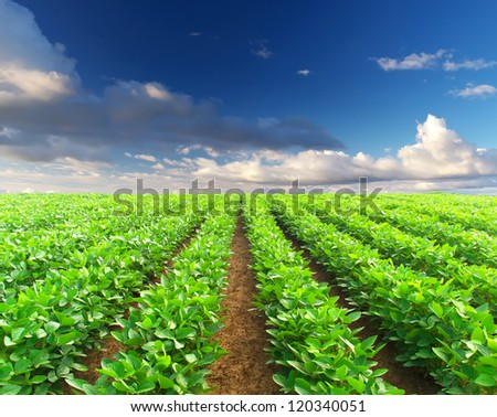 Row of vegetables on the field. Agricultural composition - stock photo