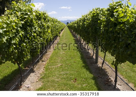Row of vines taken in New Zealand, South Island, Marlborough - stock photo