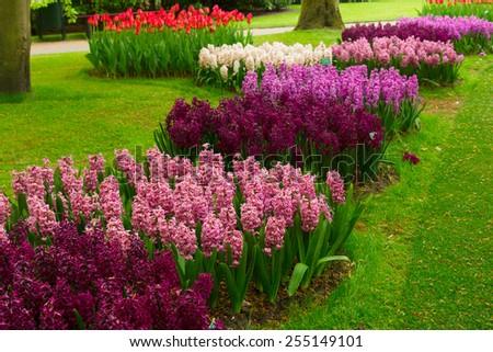 row of violet  hyacinth flowers in Keukenhof garden, Holland - stock photo