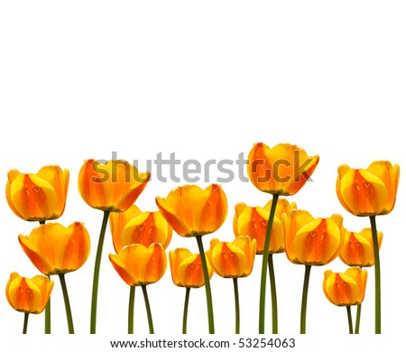 Row of yellow tulips for border or frame