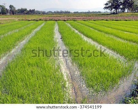 Row of young green paddy rice field with water
