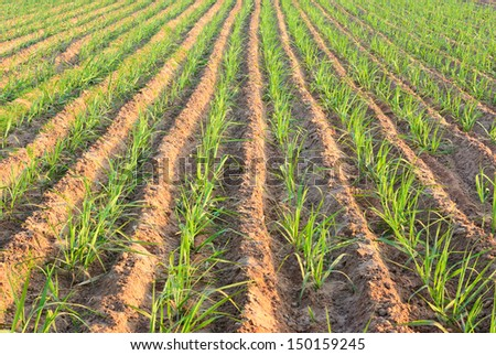 Row of young sugar cane after plant - stock photo