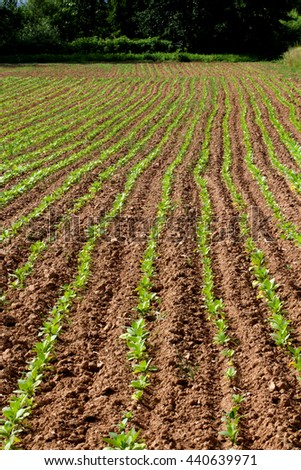 row of young tobacco plant in rural farm land - stock photo