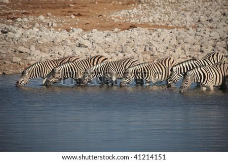 Row of Zebra - stock photo