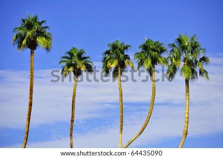 Row Palm Trees against petty blue sky - stock photo
