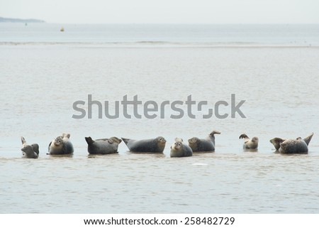 Row seals laying dry at sand bank in Dutch wadden sea near Terschelling - stock photo