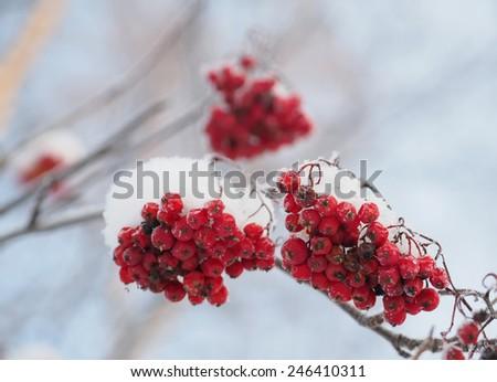 rowan berries in winter - stock photo