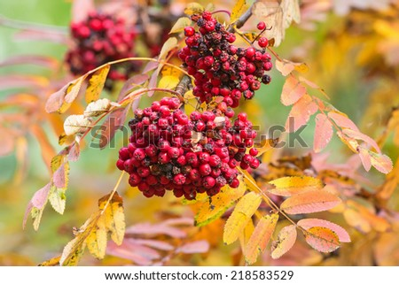 Rowan berries on a branch with autumn colors - stock photo
