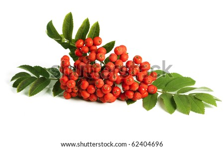 Rowan berry (mountain ash, Sorbus aucuparia) isolated on a white background