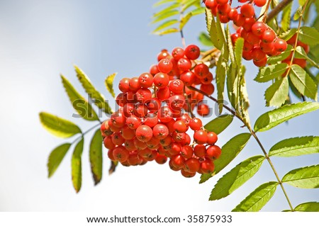 Rowan branch with red berries and blue sky. Latin name Sorbus or Rowan