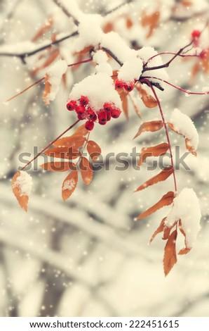 Rowan in the snow - stock photo