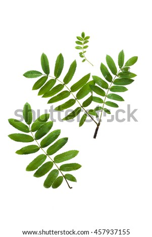 Rowan leaves isolated on white background