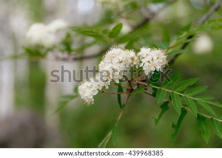 Rowan tree in bloom. Brunch of rowan tree flowers of white color and green leaves. - stock photo