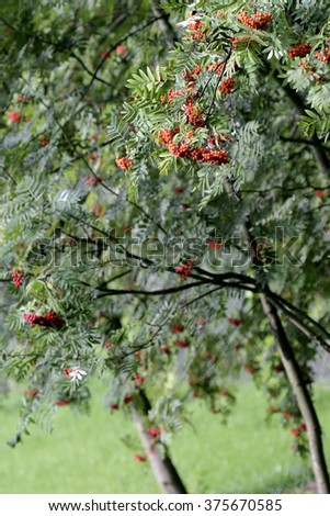 rowan tree in garden close-up - stock photo