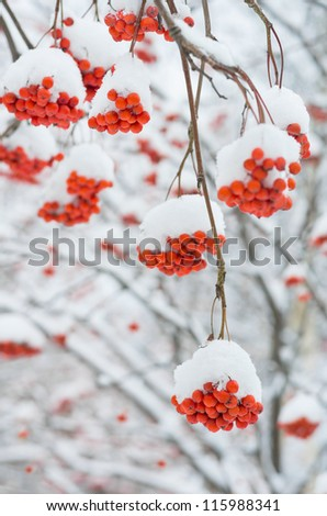 Rowan tree in the snow - stock photo