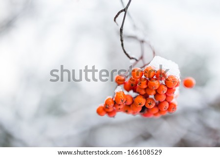 Rowan tree in the snow  - stock photo
