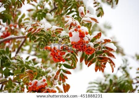 Rowan tree in the snow. - stock photo