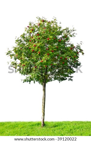 rowan tree isolated on white background - stock photo