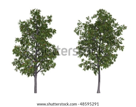 Rowan trees isolated on white background