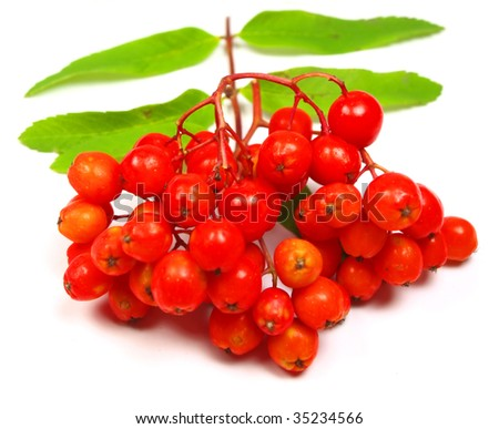 Rowanberry grape with leaves on white