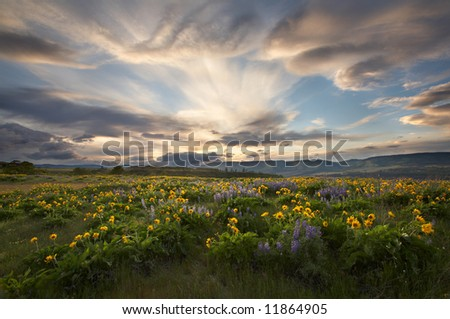 Rowena Wildflowers at Sunset - stock photo