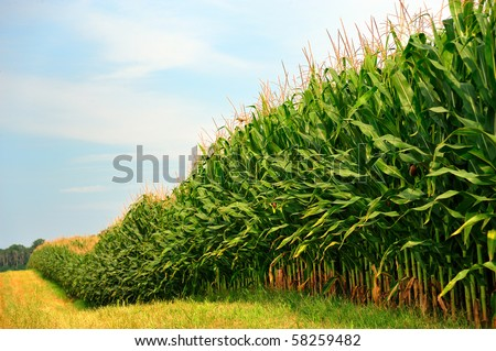 Rows and Rows of fresh unpicked corn - stock photo