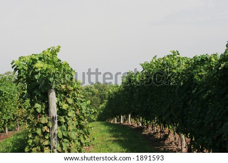 Rows in a vineyard. - stock photo