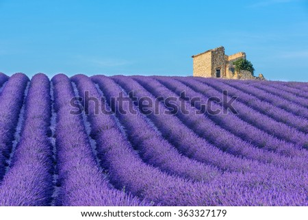 Rows of a beautiful purple lavender filed in Valensole. Provence, France - stock photo