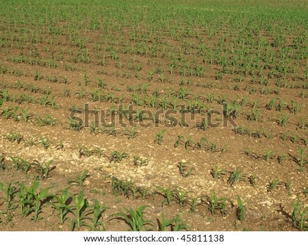 Rows of Agricultural Crop Shoots - stock photo