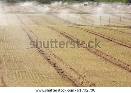 Rows of an early plantation being irrigated - stock photo