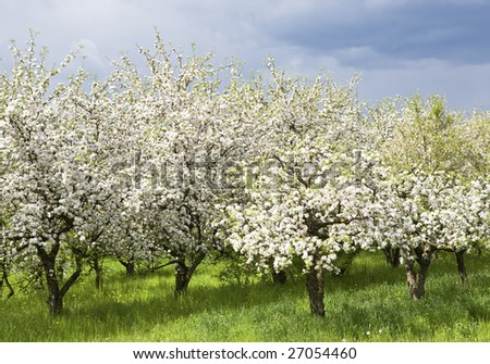 Rows of apple trees during blooming. Spring orchard. - stock photo