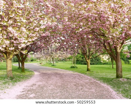 Rows of Beautiful Cherry Trees in Blossom Line a Winding Path - stock photo